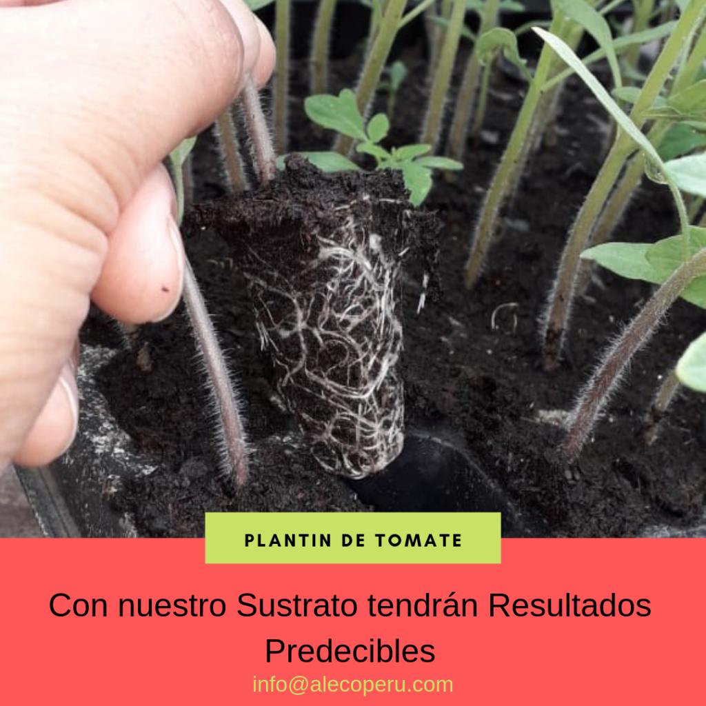 Plantin de tomate